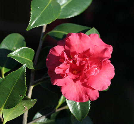 A Recent Origination From Bobby Green In Fairhope Alabama Available Camellia Forest Nursery North Carolina