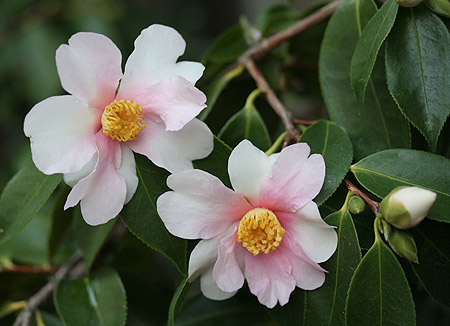 The Name Means Dream In Anese Flower Has A Very Unusual Alternation Of White And Pink Petals Originated An